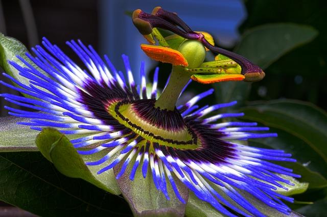passion flower 815176 640