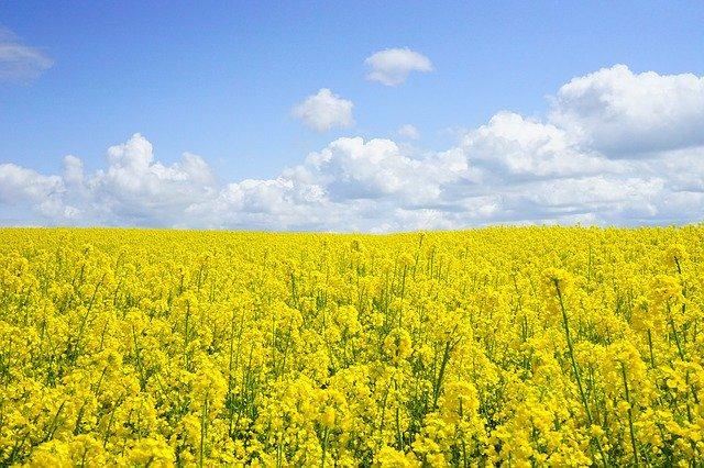 field of rapeseeds 474558 640