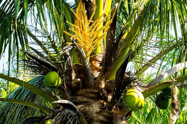 Cocotier utilisé pour le sucre de fleur de coco