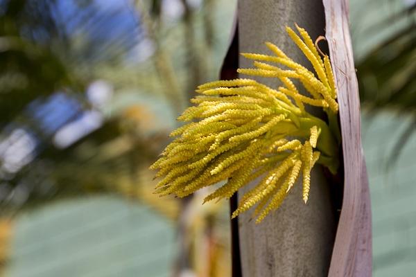 Fleur d'où la sève est extraite pour obtenir le sucre de fleur de coco